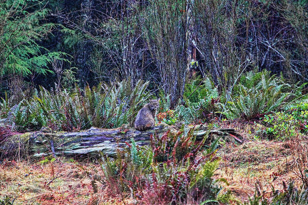 Photograph - Bobcat In The Forest by Peggy Collins