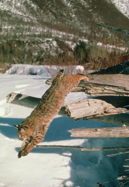 Bobcat Jumping Art Print