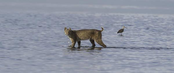 Blye Photograph - Bobcat by Kenneth Blye
