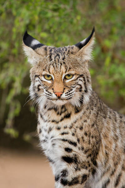 Wall Art - Photograph - Bobcat, Lynx Rufus, Sitting by Larry Ditto