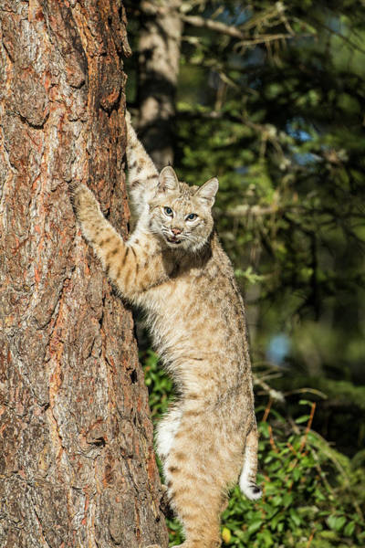 Wall Art - Photograph - Bobcat Profile, Climbing Tree, Montana by Yitzi Kessock