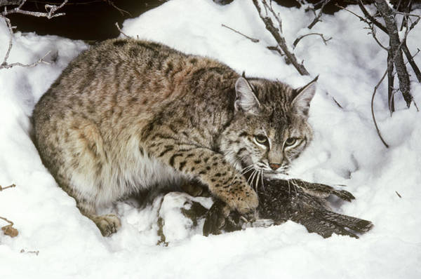 Ruffed Grouse Photograph - Bobcat With Captured Ruffed Grouse by Phil A. Dotson