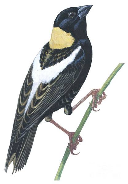 Colourful Drawing - Bobolink by Anonymous