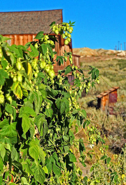 Photograph - Bodie Hops by Joseph Coulombe
