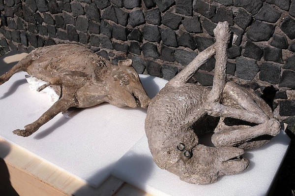 Wall Art - Photograph - Body Casts Of A Boar And A Dog From Pompeii by Pasquale Sorrentino/science Photo Library