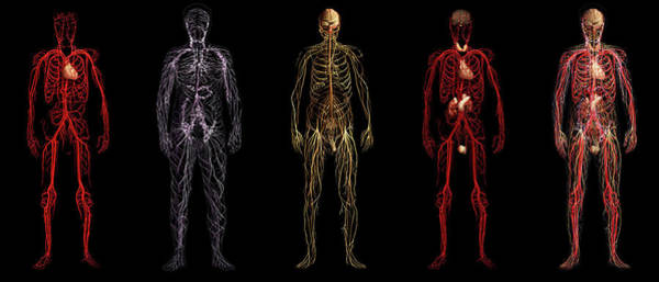 Wall Art - Photograph - Body Systems by Anatomical Travelogue