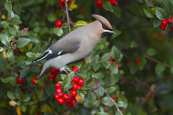Joke Wall Art - Photograph - Bohemian Waxwing Netherlands by Joke Stuurman