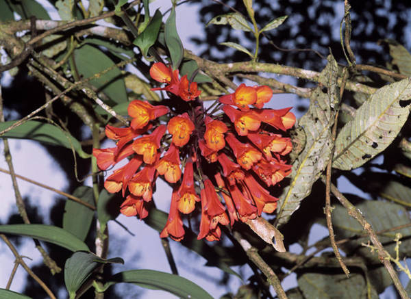 Climbing Plants Photograph - Bomarea Flowers by Dr Morley Read/science Photo Library