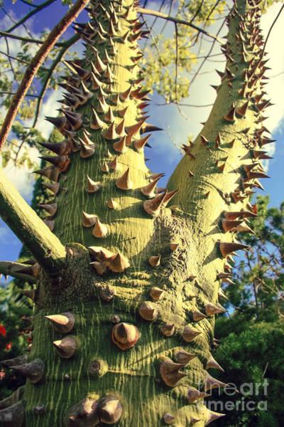 Photograph - Bombacaceae - Floss Silk Tree - Chorisia Speciosa Hawaii by Sharon Mau