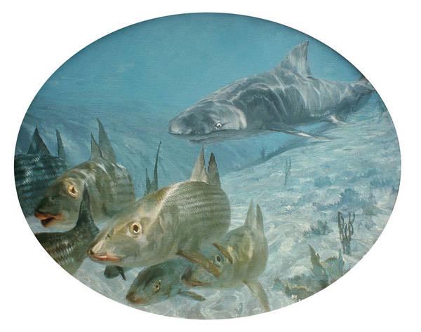 Wall Art - Photograph - Bonefish Pursued By A Shark, 1972 by Stanley Meltzoff / Silverfish Press
