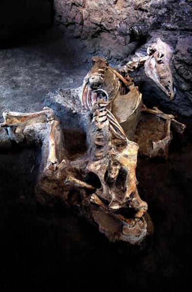 Wall Art - Photograph - Bones Of Animals Killed At Pompeii by Patrick Landmann/science Photo Library