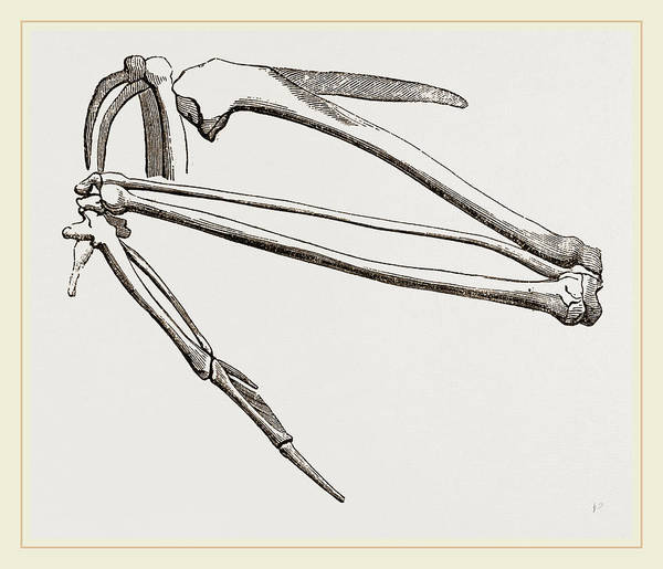 Hawk Drawing - Bones Of Hawks Wing by Litz Collection