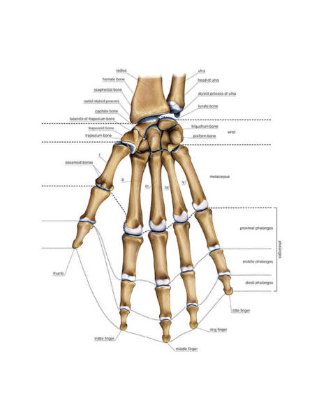 Hand Anatomy Wall Art - Photograph - Bones Of The Hand by Asklepios Medical Atlas