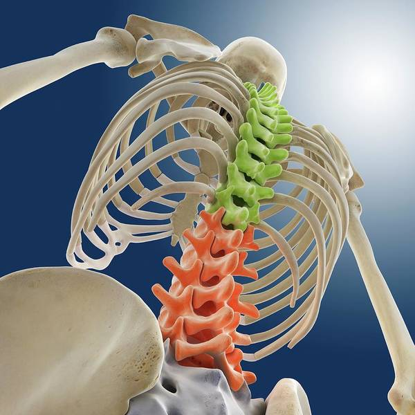 Back Bone Wall Art - Photograph - Bones Of The Upper Body by Springer Medizin/science Photo Library