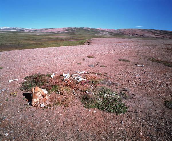 Tundra Wall Art - Photograph - Bones On The Tundra by Simon Fraser/science Photo Library
