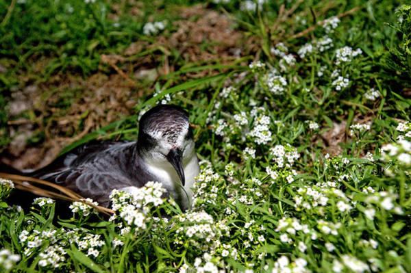 Archipelago Photograph - Bonin Petrel (pterodroma Hypoleuca by Daisy Gilardini