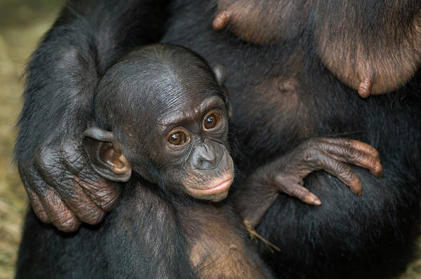 Bonobos Photograph - Bonobo Ape Infant by Tony Camacho/science Photo Library