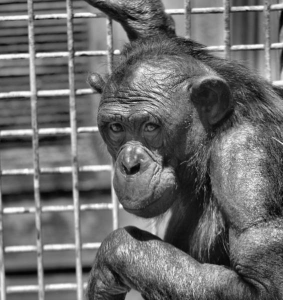 Photograph - Bonobo Black And White by Dan Sproul