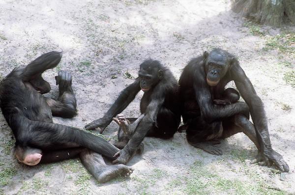 Bonobos Photograph - Bonobo Chimpanzees by Sally Mccrae Kuyper/science Photo Library