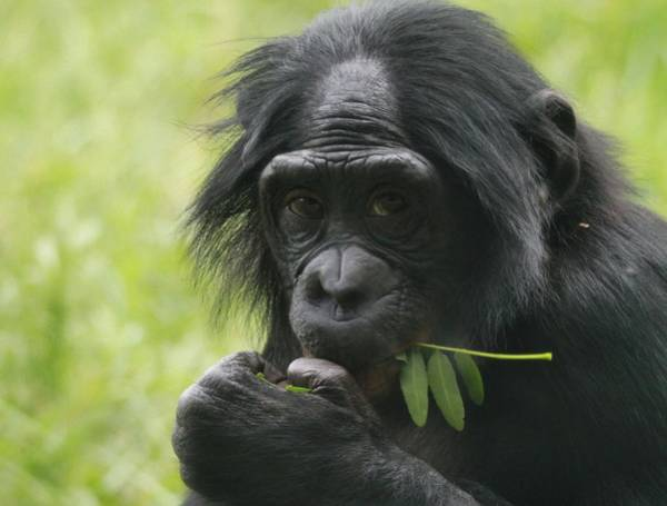 Photograph - Bonobo Eating by Dan Sproul