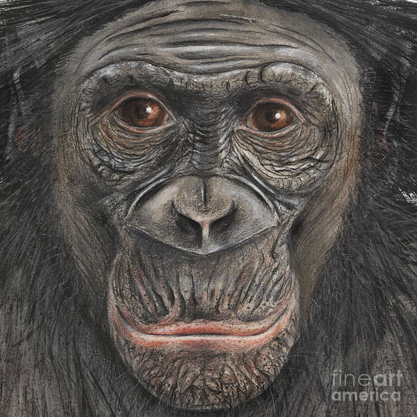 Painting - Bonobo Face - Pygmy Chimpanzee - Pan Paniscus - Fine Art Print - Stock Illustration - Stock Image by Urft Valley Art