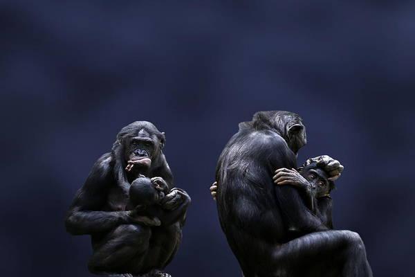 Bonobos Photograph - Bonobo Mothers And Babies by © Debi Dalio