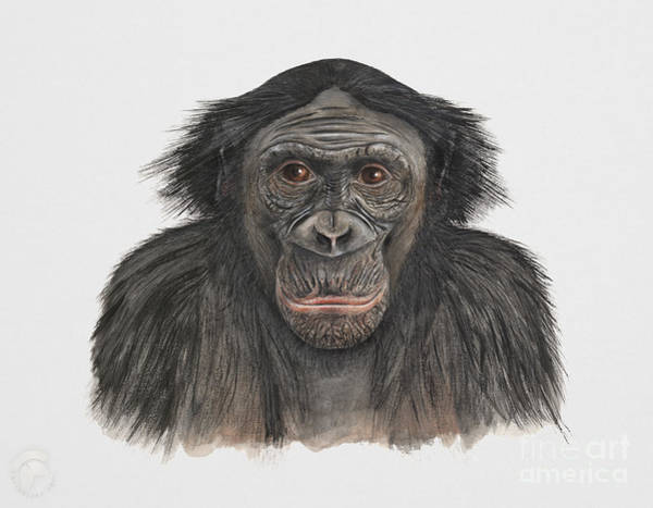Painting - Bonobo Or Pygmy Chimpanzee - Pan Paniscus - Primates   by Urft Valley Art