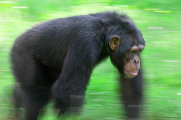 Bonobos Photograph - Bonobo Pan Paniscus Knuckle-walking by Cyril Ruoso