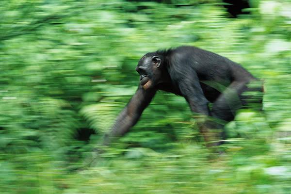 Bonobos Photograph - Bonobo Pan Paniscus Nine Year Old Male by Cyril Ruoso