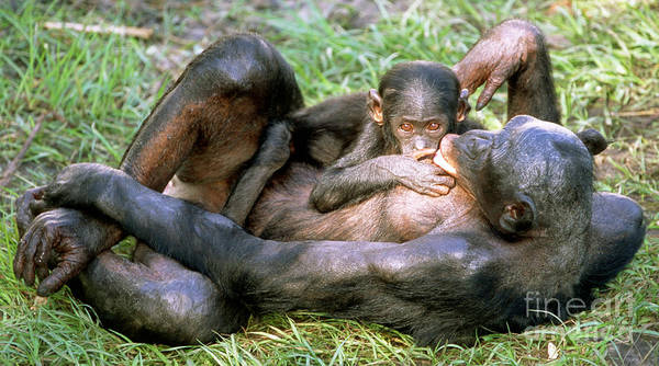 Bonobos Photograph - Bonobos by Millard H. Sharp