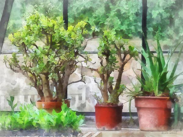 Photograph - Bonsai In Greenhouse by Susan Savad
