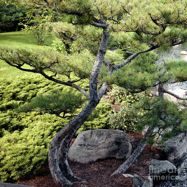Photograph - Bonzai Mugo Pine by Trever Miller