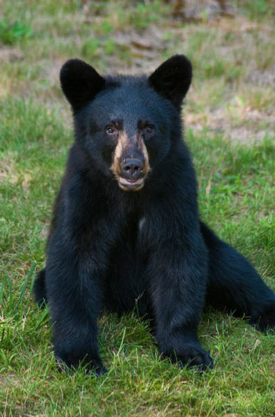 Photograph - Boo-boo The Little Black Bear Cub by Brenda Jacobs