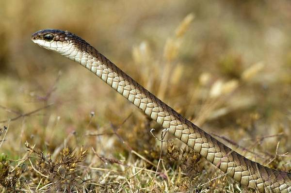 Wall Art - Photograph - Boomslang by Peter Chadwick/science Photo Library
