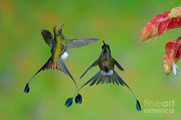 Photograph - Booted Racket-tail Hummingbird Males by Anthony Mercieca