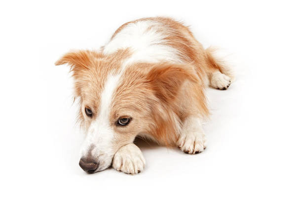 Pedigreed Photograph - Border Collie Dog Laying Down  by Susan Schmitz