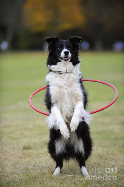 Photograph - Border Collie Hula Hoop by John Daniels