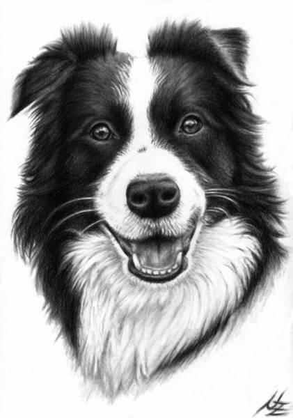 Hund Drawing - Border Collie by Nicole Zeug