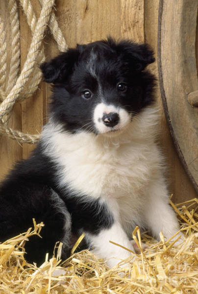 Photograph - Border Collie Puppy Dog by John Daniels