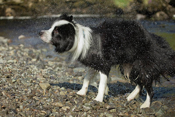 Canis Lupus Photograph - Border Collie Shaking Dry After Swimming by Simon Booth