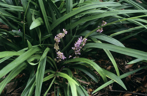 Ornamental Grass Photograph - Border Grass Flowers (liriope Muscari) by Sally Mccrae Kuyper/science Photo Library