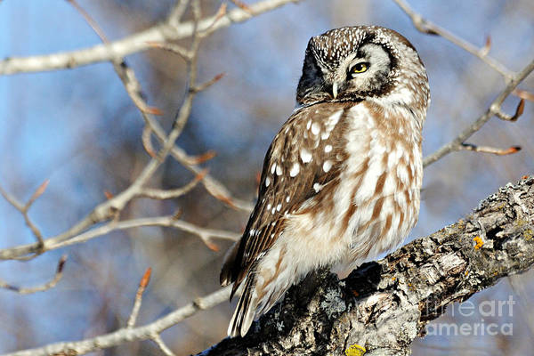 Photograph - Boreal Owl by Larry Ricker