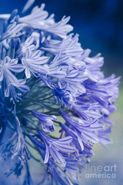 Agapanthus Photograph - Born Into Colour by Sharon Mau