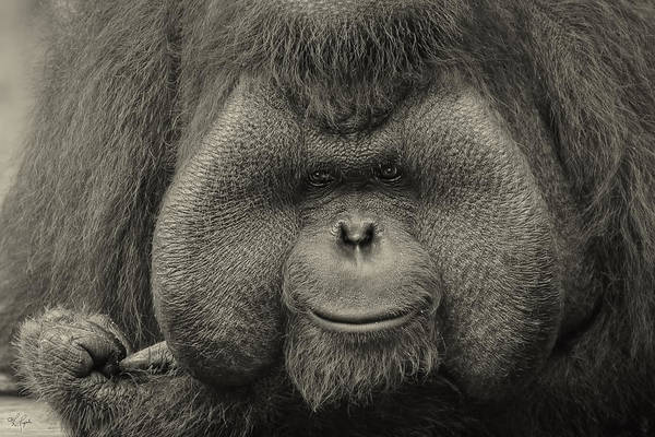 Photograph - Bornean Orangutan II by Lourry Legarde