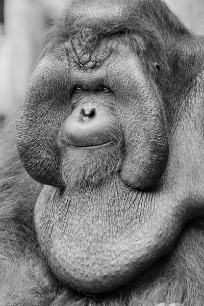 Photograph - Bornean Orangutan IIi by Lourry Legarde