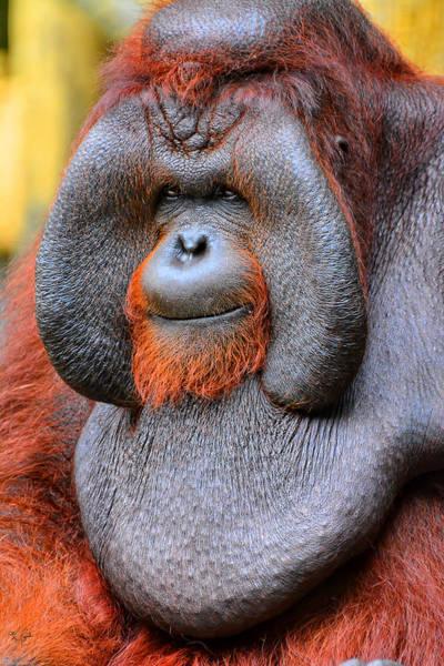Orangutan Photograph - Bornean Orangutan Iv by Lourry Legarde