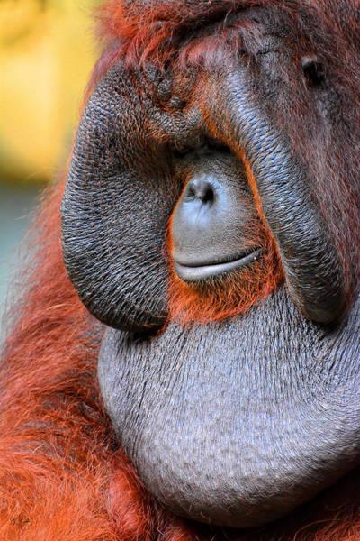 Orangutan Photograph - Bornean Orangutan Vi by Lourry Legarde