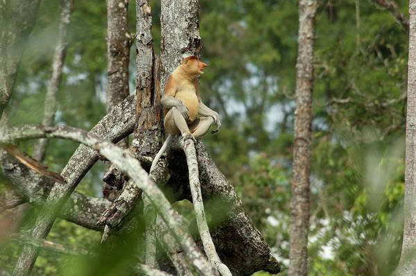 Nasalis Photograph - Borneo, Brunei Mangrove Forest by Cindy Miller Hopkins