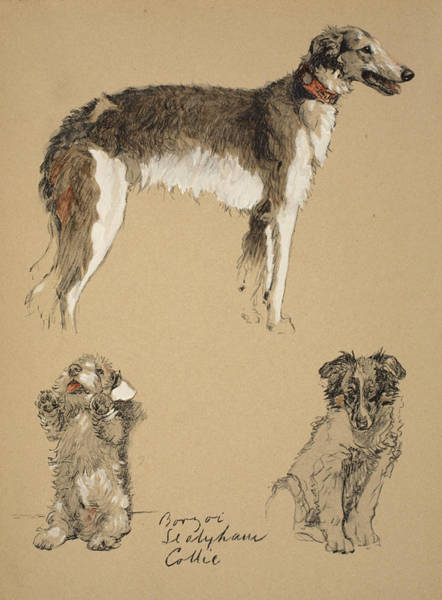 Pet Portrait Drawing - Borzoi, Sealyham And Collie, 1930 by Cecil Charles Windsor Aldin