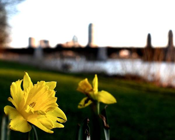 Photograph - Boston Daffoldils by Toby McGuire